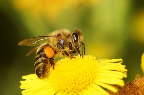 Eine Biene sitzt auf einer gelben Blume