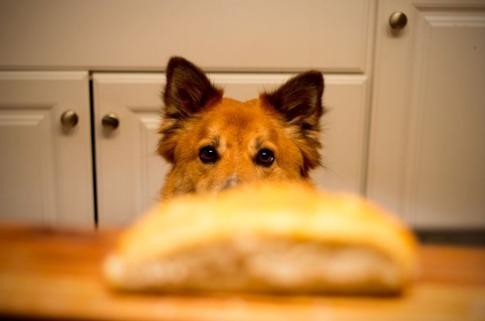 Vor der Schnauze eines Hundes befindet sich ein Brötchen