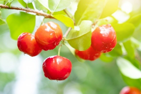 Vitaminreicher Acerola Kirsche