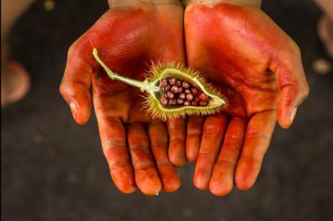 Eine offene Achiote liegt auf einer Hand