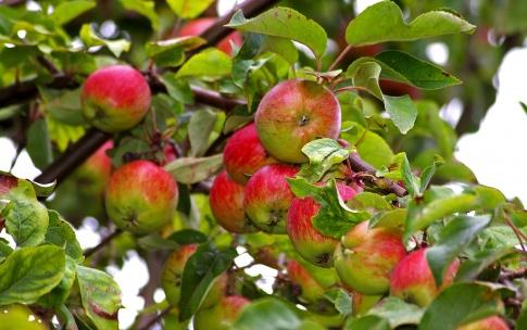 Ein Apfel hängt am Baum