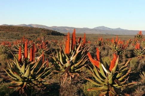 Aloe Ferox Pflanze wächst in Südafrika