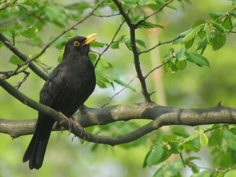 Eine Amsel singt auf einem Baum