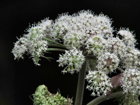 Eine Angelikawurzel hat weiße Blüten