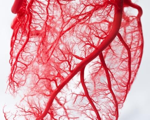 Blutgefäße im Körper