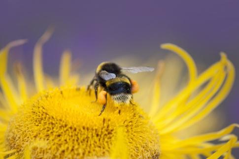 Eine Biene sammelt Pollen