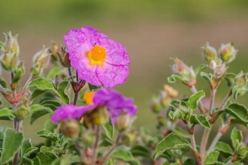 Eine Blüte der Pflanze Zistrose (Cistus)