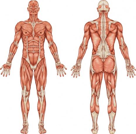 Menschlicher Muskelapparat