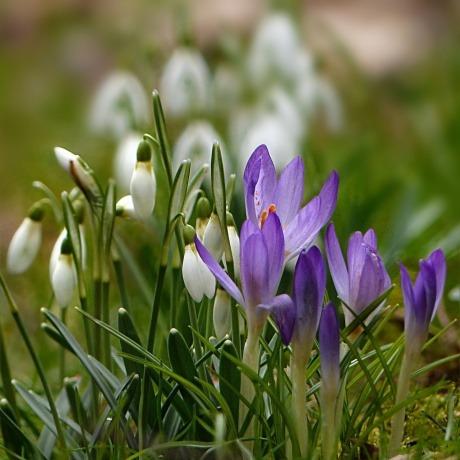 Schneeglöckchen und Krokusse wachsen im Frühling