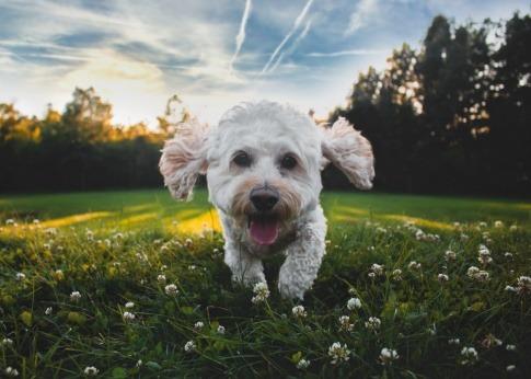 Ein weißer Hund ohne Zecken rennt durch das Gras und wirkt glücklich