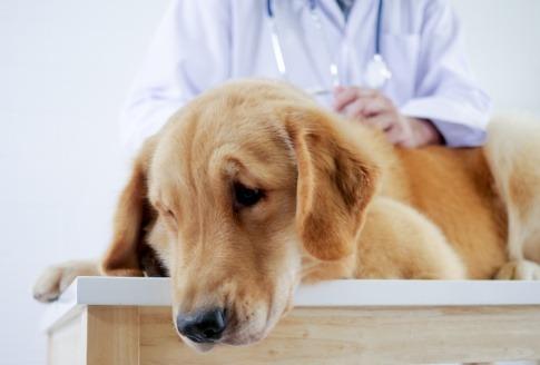 Ein Retriever mit Gelenkschmerzen wird vom Tierarzt untersucht