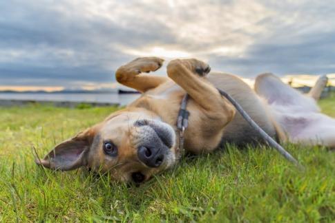 Ein fröhlicher und zufriedener Hund liegt rücklings auf einer Wiese, während hinter ihm die Sonne untergeht. Seine Besitzer haben die Tipps zum Thema Hund bei Hitze kühlen offenbar vorbildlich befolgt.