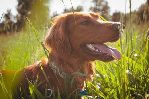 Ein rothaariger Hund liegt im hohen Gras, wo Zecken sind