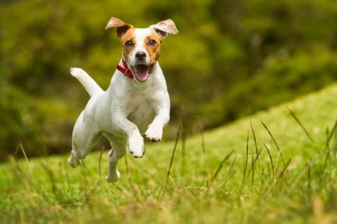 Ein Jack Russell Terrier hüpft fröhlich über eine Wiese.
