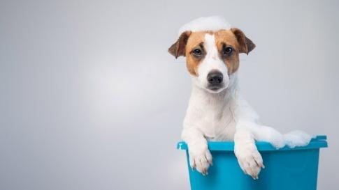 Intimbereich Hund reinigen bedeutet für diesen Jack Russel Terrier ein Bad in einem Wischeimer.