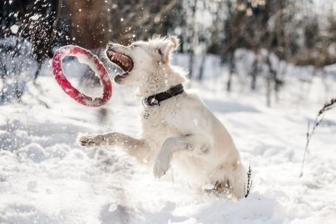 Ein Hund spielt im Schnee mit einem roten Ring