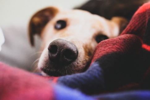 Ein Hund liegt auf dem Sofa