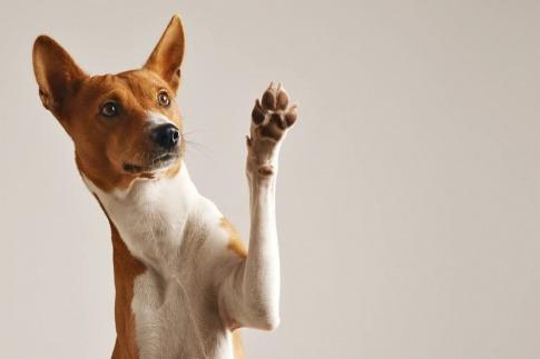 Ein Hund hebt seine linke vordere Pfote.