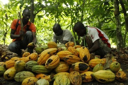 Kakaoernte von Fairtrade