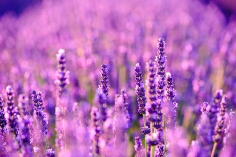 Lavendelfeld im Vordergrund Blüten