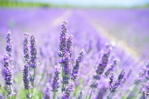 Ein Lavendelfeld ist zu sehen