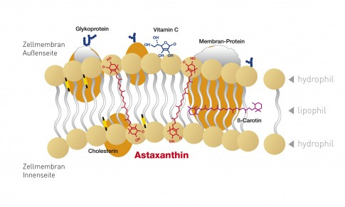 Eine Grafik zeigt die Lipidschicht von Astaxanthin