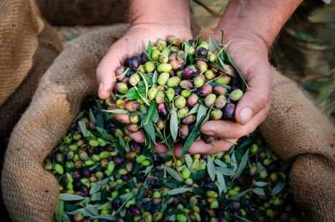 Hände voll mit Oliven