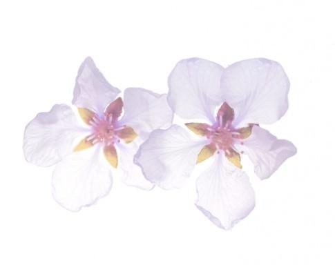 Rosarote Apfelblüte als Rohstoff für Stammzellen Kosmetik