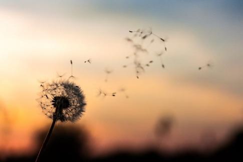 Die verblühten Blätter einer Pusteblume fliegen davon