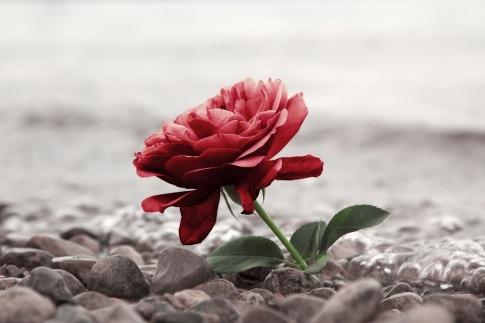 Eine Rose als Zeichen für Trauer liegt auf der Straße