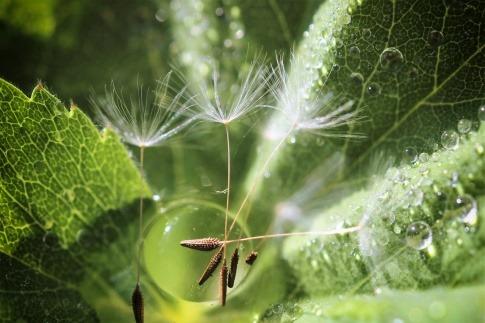 Die Samen einer Pusteblume liegen auf einem Wassertropfen