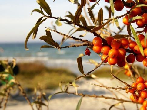 Ein Sanddornstrauch trägt orange Beeren
