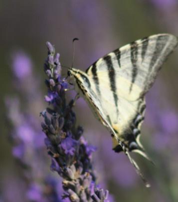 Ein Schmetterling sitzt auf Lavendel, der für die Aromatherapie bei Schnupfen verwendet werden kann