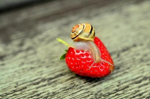 Schnecke auf einer Erdbeere