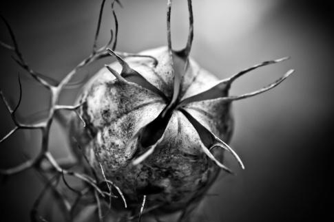Eine Schwarzkümmelkapsel ist auf einem Schwarz-Weiß-Bild