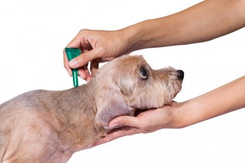 Der Hund erhält einen Schutz gegen Zecken in Form eines Spot on´s