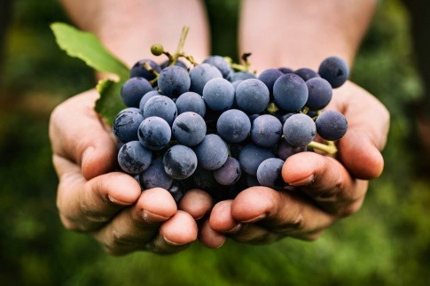 Einige saftige und pralle dunkle Weintrauben, aus denen später OPC Traubenkernextrakt hergestellt wird.