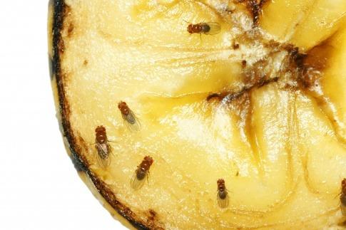 Fruchtfliegen sitzen auf einer Ananas