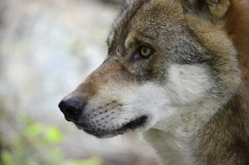 Ein Wolf schaut