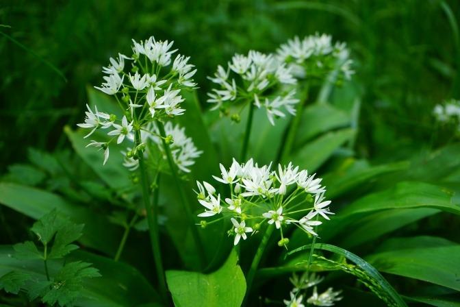 Bärlauch (Wirkung der Heilpflanze bekannt) blüht