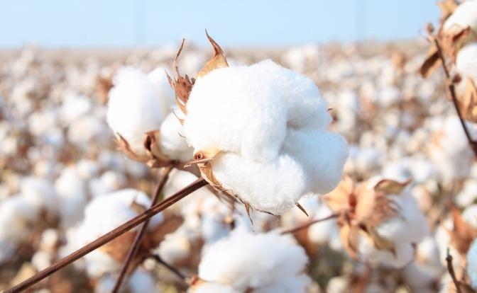 Eine Frau erntet Bio-Baumwolle