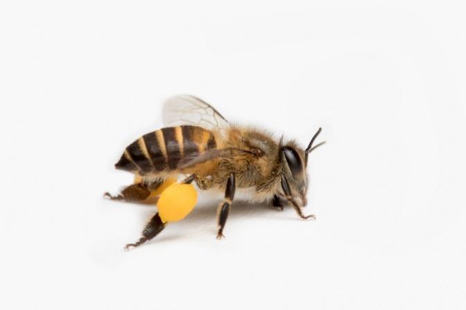 Honigbiene mit Harz an den Beinen