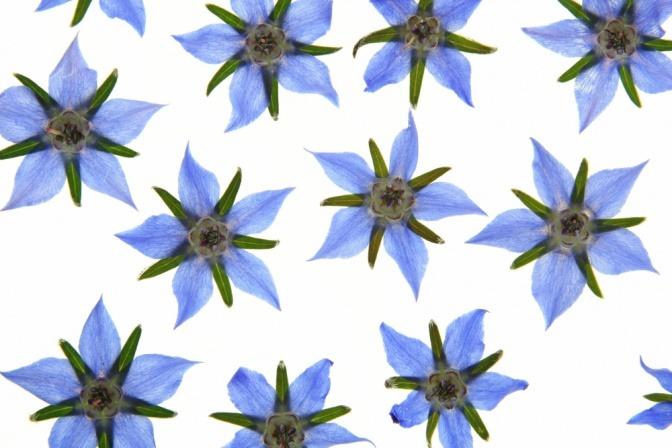Blüten der Borretschpflanze