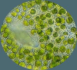 Chlorella Alge (Chlorella vulgaris) ist unter dem Mikroskop zu sehen
