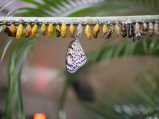 Ein Schmetterling schlüpft aus einem Cocon