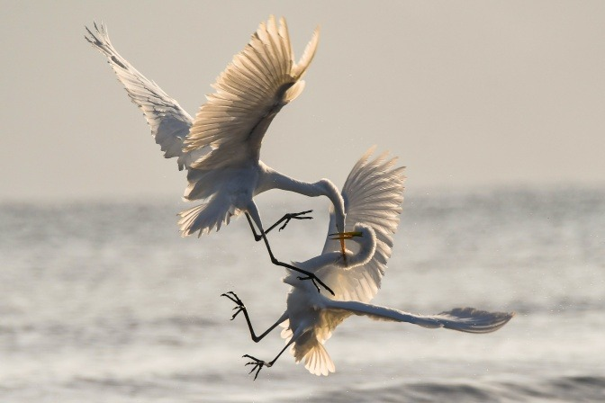 Zwei Schwäne kämpfen in der Luft.