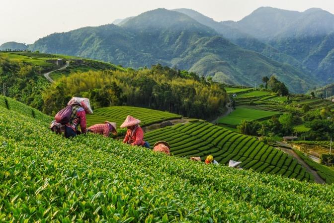 Die Pflanzen für weißen Tee werden geerntet
