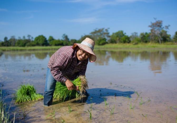 Reisbauer beim Anbau