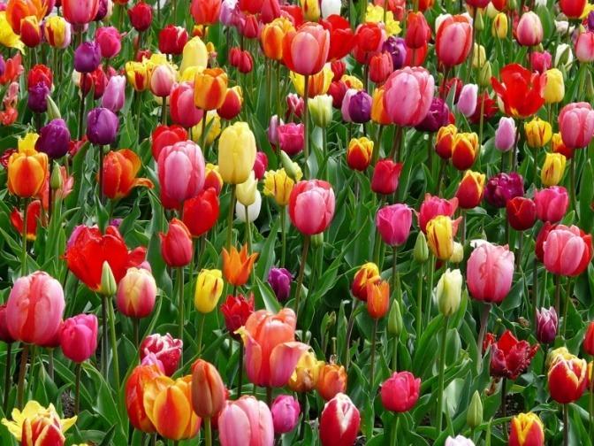 Ein Tulpenfeld ist zu sehen und kündigt Frühjahrsmüdigkeit an