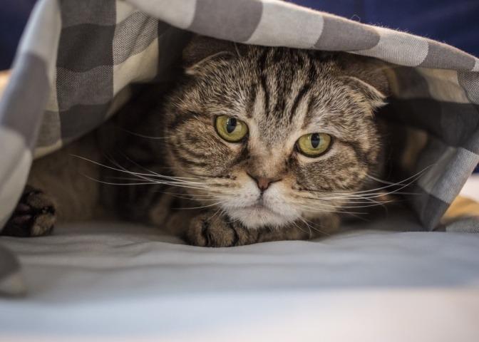 Das Thema Stress bei Katzen wird am Beispiel dieser angespannt wirkenden Katze, die misstrauisch unter einer Bettdecke hervorblickt, sehr gut verbildlicht.